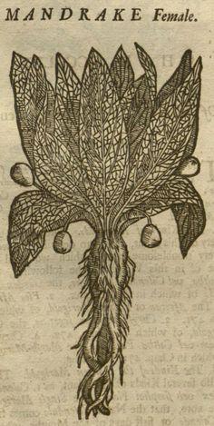 Mandragora, 1710, William Salmon, Botanologia, [MANDRAKE Female], Missouri Botanical Garden, Peter H. Raven Library, P. 677, Detail