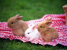 Bunnies at a picnic what!