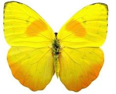 real butterfly - Google Search