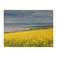 Coastal Storm Clouds Yellow Farm Fields Scotland Wood Canvases This product features nature travel photography from the beautiful North Sea coast of Scotland with a field of yellow canola bean flowers in the foreground and the ocean and blue grey storm clouds in the background. Decorate your country home, cabin, rustic lodge or office with this beautiful picture.