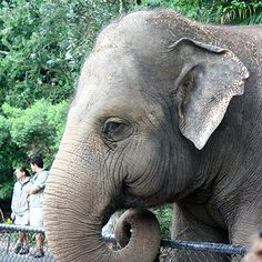 Bong Su the elephant has tragically been euthanized because of his crippling arthritis, likely caused by years of endless pacing in his cramped zoo environment. This is yet another sign that zoos are no place for these intelligent and sensitive creatures. Sign this petition to call for the end of the inhumane exploitation of elephants in captivity and justice for Bong Su.