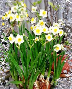 Narcissus in full bloom: Narcissus in Full Bloom Happy Sri Lanka Independence Day Holiday - News - Bubblews