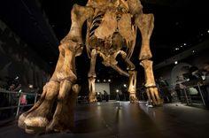 Le squelette reconstitué d'un #titanosaure de plus de 37 mètres de long est désormais exposé au muséum d'histoire naturelle de #NewYork. Les #fossiles de ce monstre l'un des plus grands dinosaures de tous les temps ont été découverts en 2014 en #Patagonie. Avec son cou dressé il aurait atteint la hauteur d'un immeuble de cinq étages. Il sagit dune reconstitution minutieuse en fibres de verre réalisée à partir de fossiles exhumés à La Flecha en Patagonie en 2014. A replica of a 122-foot-long…