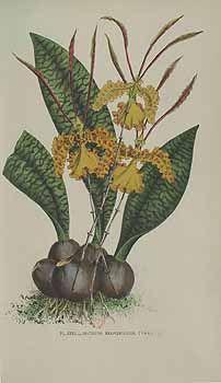 172438 Oncidium kramerianum Rchb.f. / Puydt, P.E. de, Les Orchidées, t. 31 (1880)