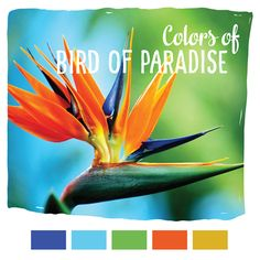 The Bird of Paradise is a bright and colorful flower! It's the perfect scheme for a children play room! Growing the Bird of Paradise? View some tips here!