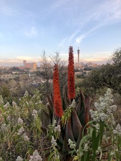 Flowering aloes in The Wilds Park, Johannesburg by artist James Delaney James Delaney, Wild Park, Artist, Plants, Planters, Plant, Planting, Artists