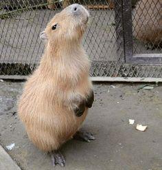 Capybara sit up http://ift.tt/2ez2VNa