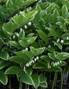 For Shade ~ Solomon's Seal: Polygonatum odoratum 'Variegatum'  2013 Perennial Plant of the Year