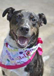 Mae is an adoptable Australian Cattle Dog (Blue Heeler) Dog in Lynnwood, WA. EDAP1 - Mae is a sweet, sensitive girl with a good history! She has been described as friendly, playful, and high energy. I...