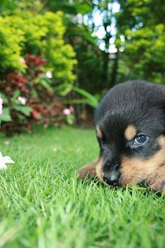 Rottweiler  - For Puppy Fridays from Underdog Rescue of Arizona