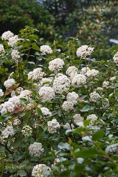 Téli bangita - Örökzöld