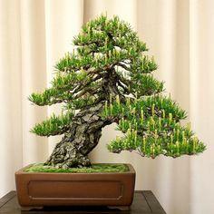 Helpful Guidelines In Growing Indoor Bonsai Trees Tronco Inclinado Bonsai Plants, Bonsai Garden, Acer Palmatum, Japanese Maple Bonsai, Bonsai Styles, Miniature Trees, Growing Tree, Small Trees, Tree Designs