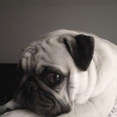 Why yes, I am a beautiful pug