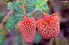 Nodding banksia (Banksia nutans) like natural Christmas tree ornaments! Native to Western Australia. This little beauty only makes an appearance in the nursery every now and then! Unusual Flowers, Unusual Plants, Cool Plants, Beautiful Flowers, Australian Wildflowers, Australian Native Flowers, Australian Plants, Australian Bush, Christmas In Australia