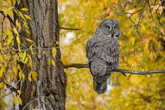 Autumn Gold - Great Gray Owl - ~ Jackson Hole, Wyoming With eyes of gold matching the brilliant color of the cottonwood, a great gray owl pauses as the sun begins to drop behind the majestic Teton Range. With dusk settling over the valley, this phantom of the north woods will begin hunting in earnest. While this is North America's longest owl, measuring as tall as 30 inches, their large size is due to their supple down and elongated tail, weighing just over two pounds.