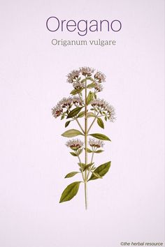 Herbal Remedies Oregano Origanum vulgare More - Information on the Health Properties, Benefits and Side Effects of the Herb Oregano (Origanum vulgare) and the Uses of Its Oil in Herbal Medicine Herbal Plants, Medicinal Plants, Natural Herbs, Natural Healing, Natural Medicine, Herbal Medicine, Herbal Remedies, Natural Remedies, Holistic Remedies