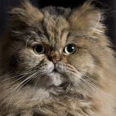 cute fluffy himalayan cat pic persian cats pinterest himalayan cat himalayan and cats. Black Bedroom Furniture Sets. Home Design Ideas