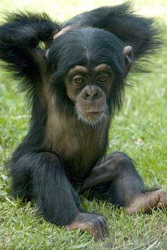 Cute little chimp <3