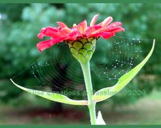 Zinnia with spider web & water drops