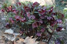 Image result for helleborus orientalis hybrids