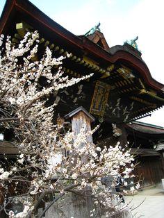 Japanese Apricot - Japanese Apricot at Kitano Shrine.