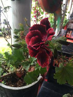 Flores rojas intensas (laguna la cocha)