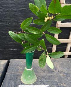 Cotoneaster salicifolius 'Rothschidianus'