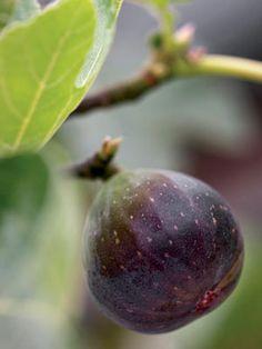 Growing Figs in Pots