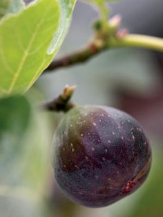 Fig, Strawberry, Blueberry: How to Grow Fruit in Pots: Organic Gardening