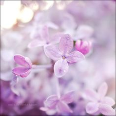Gorgeous Lilac from ~onixa on DeviantArt http://browse.deviantart.com/?qh=&section=&q=lilac+flowers#/d26wo79