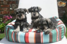Miniature Schnauzer Puppies! Adorable!