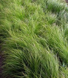 Carex pensylvanica - Pennsylvania Sedge --use in place of grass turf