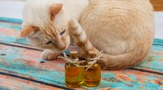 Are Essential Oils Dangerous to Cats?   CANIDAE® Blog