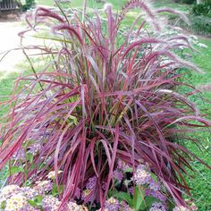 Image detail for -Ornamental Grass-Pennisetum (fountain grass)- Annual grows to about 3 ...