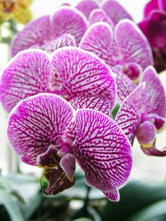 Phalaenopsis Blume, known as the Moth Orchid, abbreviated Phal in the horticultural trade, is an orchid genus of approximately 60 species