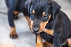 www.elitek-9.com  #doberman, #protectiondogs, #CEO, #militaryk9, #exotics Doberman Pinscher, Exotic Cars, Puppies, Dogs, Animals, Animales, Puppys, Animaux, Pet Dogs