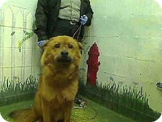 #GEORGIA #URGENT ~ Bently ID A461160 is a  Chow mix in need of a loving #adopter / #rescue at FULTON COUNTY ANIMAL CONTROL   860 Marietta Blvd NW   #Atlanta Georgia 30318    ac.info@fultoncountyga.gov   adoptions@fultoncountyga.gov Ph 404-613-0357