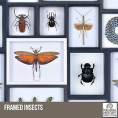 Framed Insects - Shop the collection, website updated daily, click here now www.NaturalHistoryDirect.com