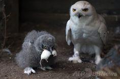 ドイツ中部ハノーバー(Hanover)の動物園で、ネズミをくわえるシロフクロウのひな鳥を見守る父親の「ハリー(Harry)」(左、2014年7月2日撮影)。(c)AFP/DPA/JOCHEN LÜBKE ▼4Jul2014AFP|ネズミを食べるシロフクロウの親子、ドイツ http://www.afpbb.com/articles/-/3019650 #Snowy_owl #Bubo_scandiacus #Harfang_des_neiges #Schnee_Eule #Sneeuwuil #Coruja_das_neves