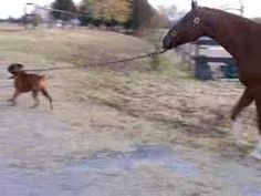 Cash the Boxer steals a horse. Yep.  Maggie would so do this if she wasn't afraid of the horse lol