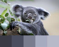 LES COULEURS DU JOUR: Singapour Un koala se nourrit de feuilles d'eucalyptus dans sa nouvelle enceinte au zoo de Singapour. Quatre koalas provenant du sanctuaire Lone Pine Koala de Brisbane, resteront au zoo de Singapour jusqu'en janvier 2016, avant de retourner en Australie. Photo: Wong Maye-E Feuille Eucalyptus, Brisbane, Photos, Palette, Bear, Animals, Inspiration, Colors, Koalas