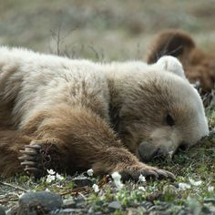 """Let sleeping bears lie. ~ETS Denali National Park (@denalinps) on Instagram: """"That #FridayFeeling when you absolutely, pawsitively need a nap! #UnbearablyCute"""