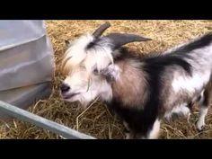 ▶ Goat imitating chicken - YouTube Geitje doet een kip na - une chèvre qui imite une poule !