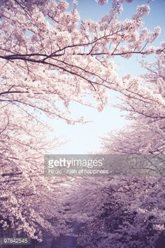 Stock Photo : New spring, cherry tree in full bloom
