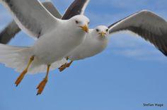 2 Seagulls #free