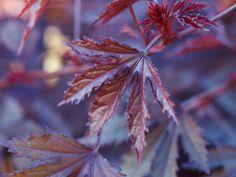 5 DIY Floral Teas: Hibiscus tea