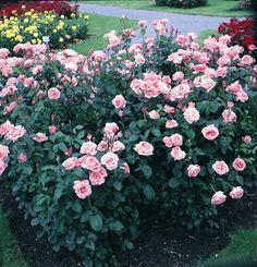 The Queen Elisabeth - stávající 150 cm Queen Elizabeth Rose, Bing Images, Plants, Gardens, Sweet, Climbing Roses, English Roses, Rose Varieties, Candy