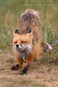 beautiful-wildlife:Fox Yoga by Nate Zeman Nature Animals, Animals And Pets, Baby Animals, Funny Animals, Cute Animals, Wild Animals, Art Nature, Beautiful Creatures, Animals Beautiful