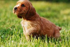 Cocker Spaniel Puppies: The Ultimate Guide for New Dog Owners Cocker Spaniel Anglais, Cocker Spaniel Puppies, Training Your Puppy, Dog Training Tips, Crate Training, Smartest Dog Breeds, Puppy Crate, Cockerspaniel, Easiest Dogs To Train