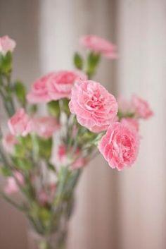 lys rosa nellik - Google-søk